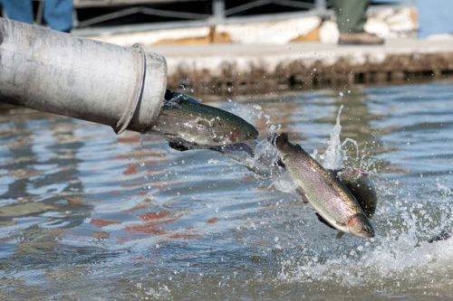 Fish report trout planting schedule for week of january for Lake cachuma fishing report