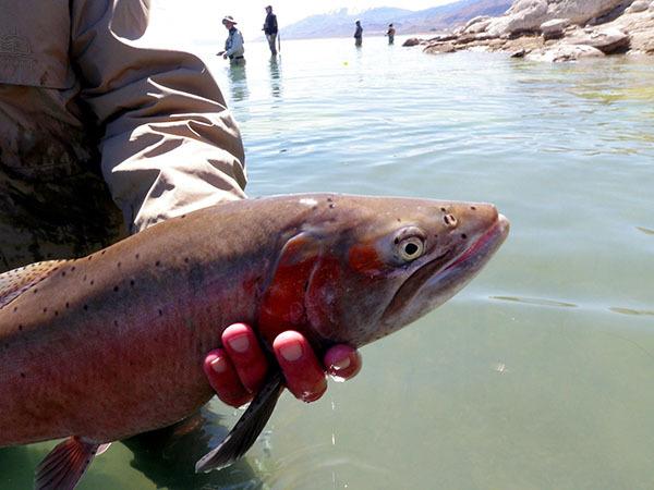 Pyramid Lake Fish Report Sutcliffe Nv Washoe County