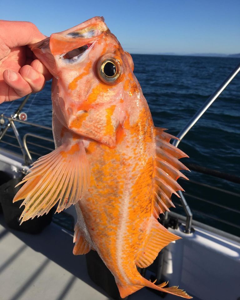 Limits or Rockfish & Lings