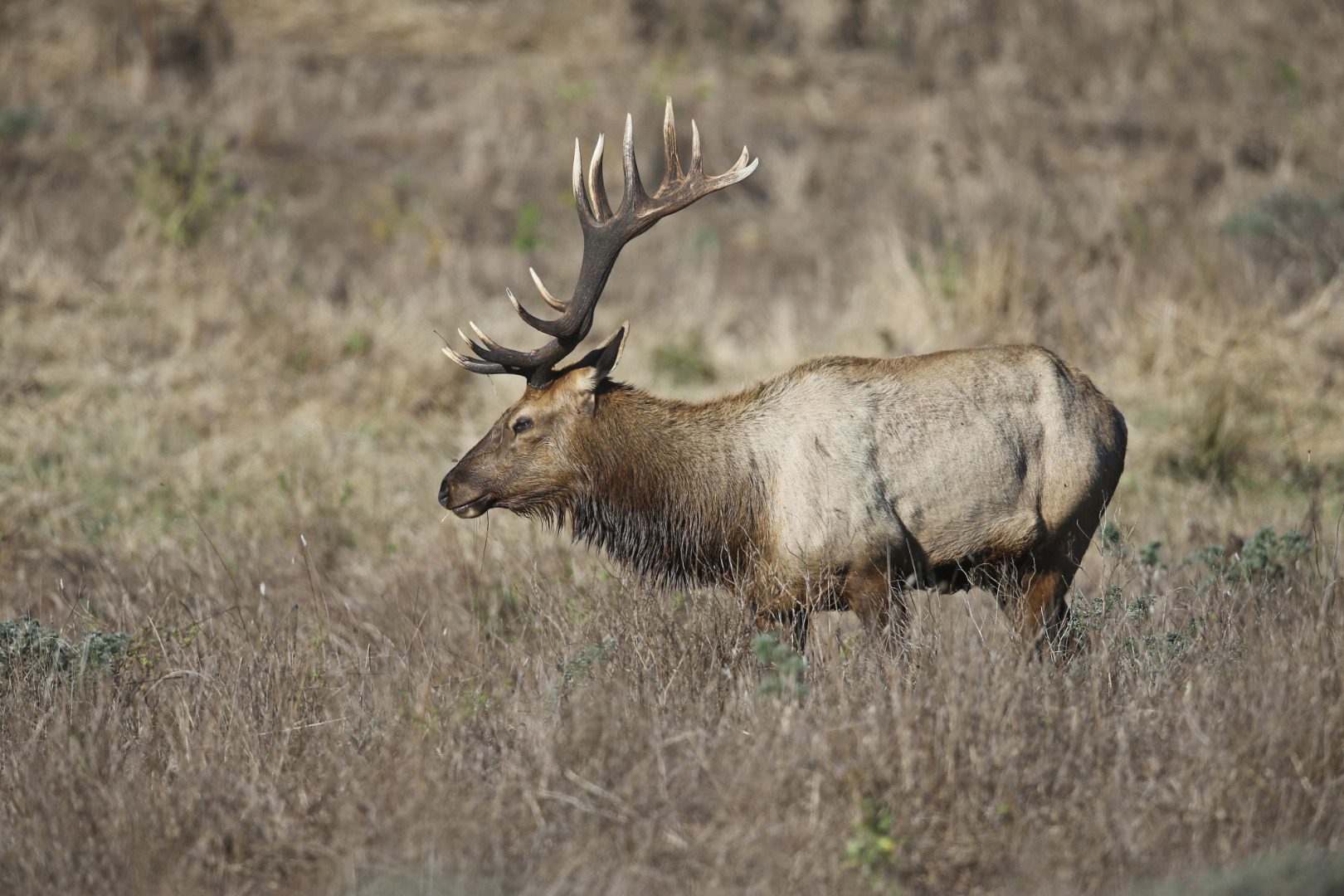 How are antlers different from horns and pronghorns?